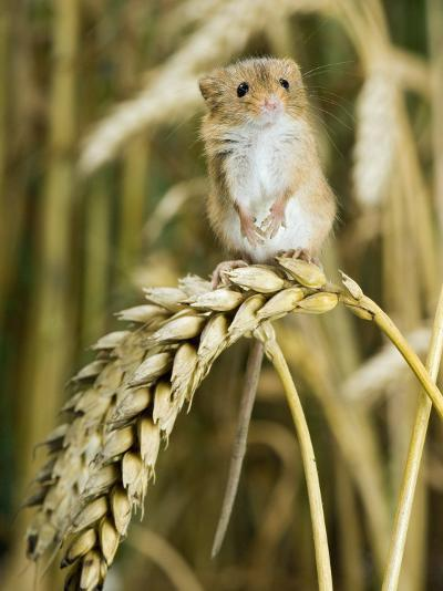 Harvest Mouse Standing Up on Corn, UK-Andy Sands-Photographic Print