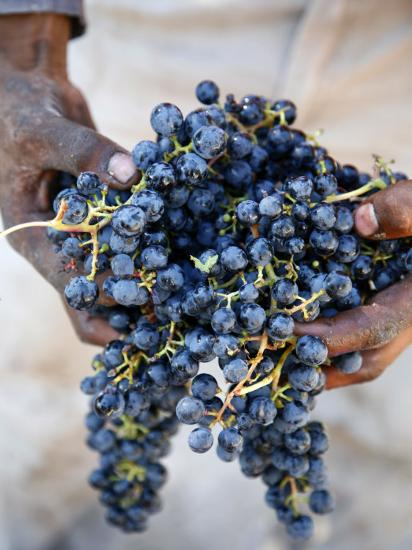 Harvest Worker Holding Malbec Wine Grapes, Mendoza, Argentina, South America-Yadid Levy-Photographic Print