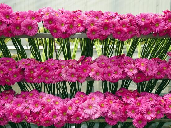 Harvested Gerbera Daisies Freshly Picked from Greenhouse-James Forte-Photographic Print