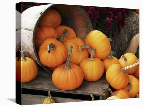 Harvested Pumpkins-Tony Craddock-Stretched Canvas Print