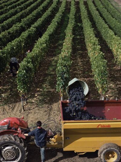 Harvesting Grapes, St. Emilion Area, Aquitaine, France-Adam Woolfitt-Photographic Print