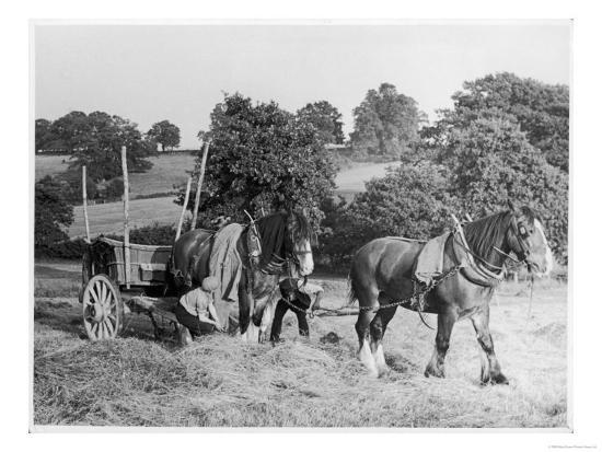 Harvesting in Kent with a Pair of Shire Horses--Giclee Print