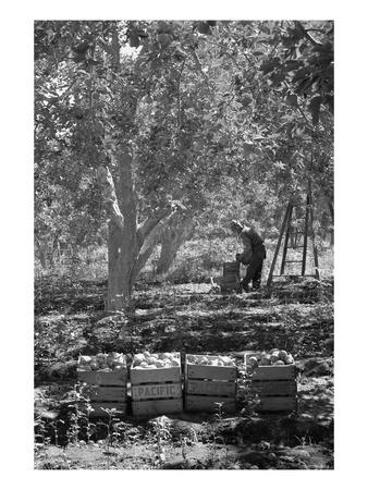 https://imgc.artprintimages.com/img/print/harvesting-pears_u-l-pgjqu10.jpg?p=0