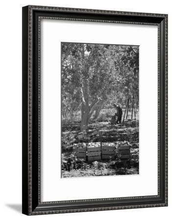 Harvesting Pears-Dorothea Lange-Framed Art Print