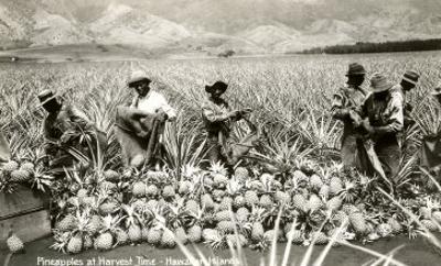 Harvesting Pineapples, Hawaii