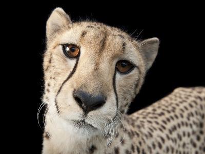 Hasari, a Three-Year-Old Cheetah, Acinonyx Jubatus-Joel Sartore-Photographic Print