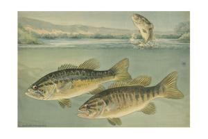 A Painting of Largemouth Bass (Upper) and Smallmouth Black Bass by Hashime Murayama