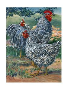 A View of Barred Plymouth Rock Chickens, One of the Seven Varieties by Hashime Murayama