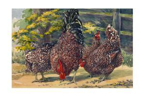 England's Speckled Sussex Pecks the Ground by Hashime Murayama