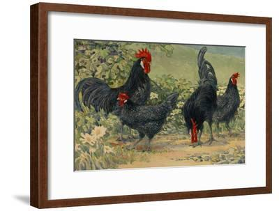 Four Blue Andalusian Chickens, or Historically Blue Minorca Chickens
