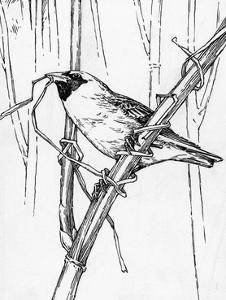 Sketch of a Weaverbird Shows the Bird's Skill with Grass and Twigs by Hashime Murayama