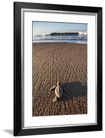 Hatchling Sea Turtle Heads to the Ocean-Paul Souders-Framed Photographic Print