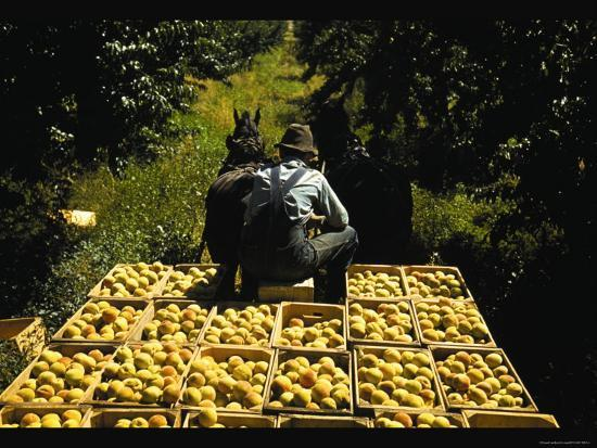 Hauling Crates of Peaches-Russell Lee-Photo