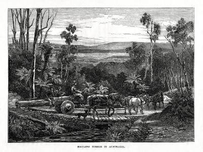 Hauling Timber, Australia, 1877--Giclee Print