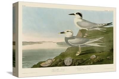 Havell's Tern & Trudeau's Tern-John James Audubon-Stretched Canvas Print
