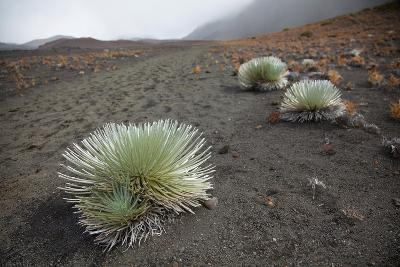 Hawaii, Maui, Haleakala, a Silversword Plant Growing Along the Trail of the Crater-Design Pics Inc-Photographic Print