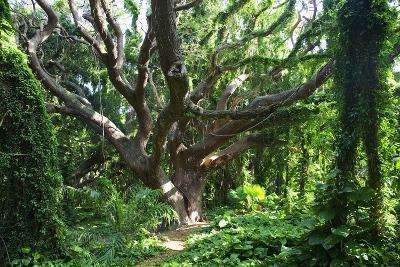 Hawaii, Maui, Honolua, a Tree Surrounded by Lush Green Vines-Design Pics Inc-Photographic Print