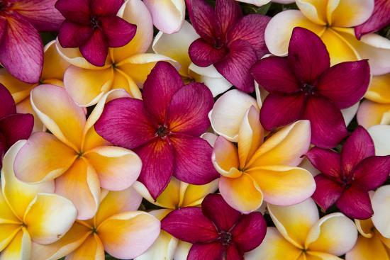 Hawaii, Maui, Plumeria in Mass Display-Terry Eggers-Photographic Print