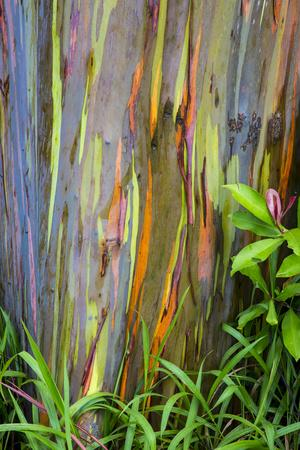 https://imgc.artprintimages.com/img/print/hawaii-maui-rainbow-eucalyptus-trees_u-l-q13b8oj0.jpg?p=0