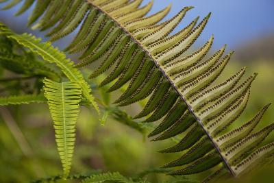Hawaii, Maui, Waihee, a Closeup of Green Fern with Seeds-Design Pics Inc-Photographic Print