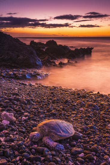 Hawaiian Green Sea Turtle on a Lava Beach at Sunset, Kohala Coast, the Big Island, Hawaii-Russ Bishop-Photographic Print