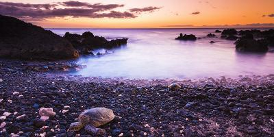 Hawaiian Green Sea Turtles on a Lava Beach at Sunset, Kohala Coast, the Big Island, Hawaii-Russ Bishop-Photographic Print