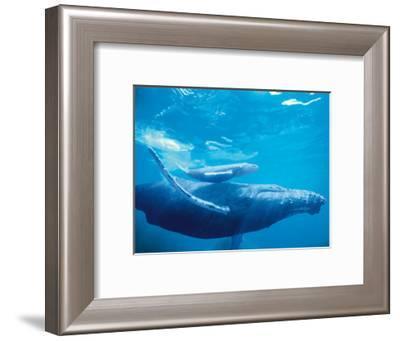 Hawaiian Humpback Mother and Calf-Michael S. Nolan-Framed Giclee Print