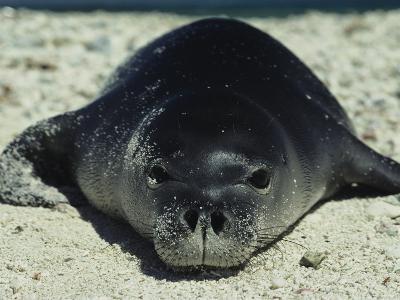 Hawaiian Monk Seal-Bill Curtsinger-Photographic Print