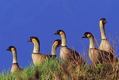 Hawaiian Nene Geese--Photographic Print