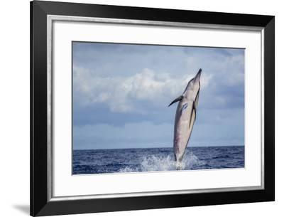 Hawaiian Spinner Dolphin (Stenella Longirostris)-Michael Nolan-Framed Photographic Print