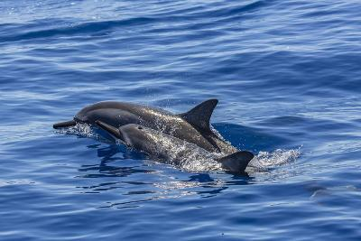 Hawaiian Spinner Dolphins (Stenella Longirostris)-Michael Nolan-Photographic Print
