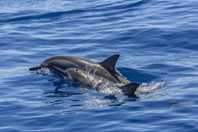 https://imgc.artprintimages.com/img/print/hawaiian-spinner-dolphins-stenella-longirostris_u-l-pnparz0.jpg?p=0