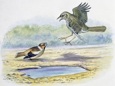 Hawfinch (Coccothraustes Coccothraustes)--Giclee Print