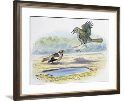 Hawfinch (Coccothraustes Coccothraustes)--Framed Giclee Print