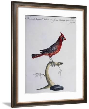 Hawfinch of Virginia or Common Crested Cardinal (Coccothraustes Virginiana O Cardinalis Cristatus)--Framed Giclee Print