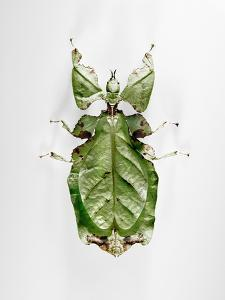 Wandering Leaf, Phyllium Giganteum, , Green, Female, Animal, Insect, Ghost Locust, Locust by Hawi