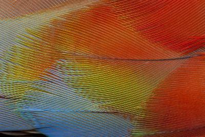 Hawk-Headed Parrot Feathers-Darrell Gulin-Photographic Print