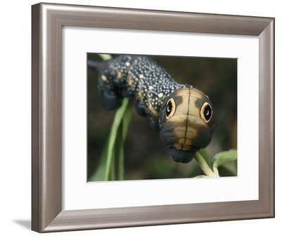Hawk Moth Caterpillar Inflating its Thorax as a Defense Mechanism-Darlyne A. Murawski-Framed Photographic Print