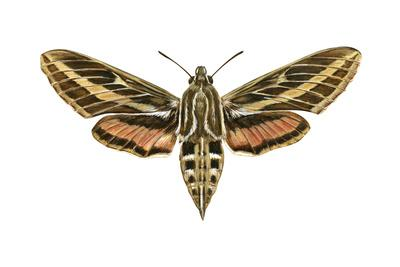 https://imgc.artprintimages.com/img/print/hawk-moth-celerio-lineata-sphinx-moth-insects_u-l-q135jei0.jpg?p=0
