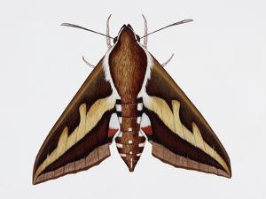 Hawk Moth or Leafy Spurge Hawk Moth (Hyles Euphorbiae), Sphingidae, Artwork by Barry Croucher