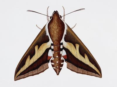 Hawk Moth or Leafy Spurge Hawk Moth (Hyles Euphorbiae), Sphingidae, Artwork by Barry Croucher--Giclee Print