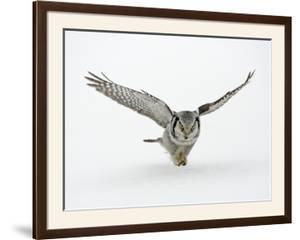 Hawk Owl in Flight over Snow
