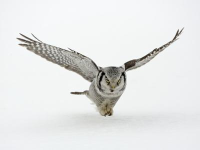 Hawk Owl in Flight over Snow