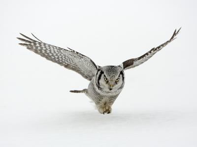 Hawk Owl in Flight over Snow--Photographic Print