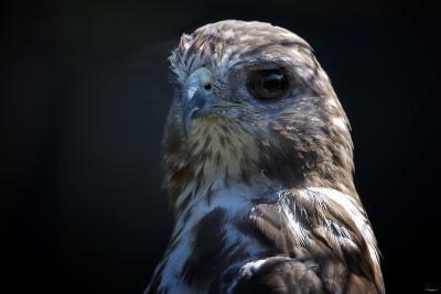 Hawk-Gordon Semmens-Photographic Print