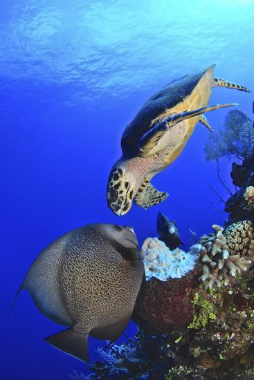 Hawksbill Sea Turtle and Gray Angelfish Share a Special Moment-Stocktrek Images-Photographic Print