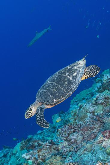 Hawksbill Sea Turtle at the Edge of a Wall with Sharks-Stocktrek Images-Photographic Print