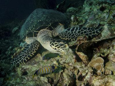 Hawksbill Sea Turtle Feeding, Bunaken Marine Park, Indonesia-Stocktrek Images-Photographic Print
