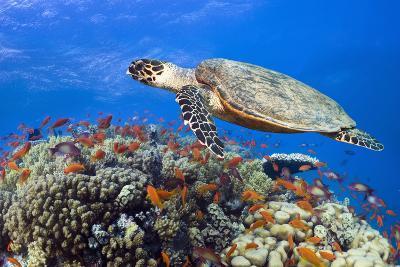 Hawksbill Sea Turtle-Georgette Douwma-Photographic Print