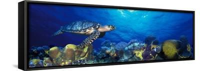 Hawksbill Turtle and French Angelfish with Stoplight Parrotfish--Framed Canvas Print